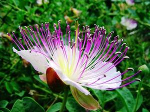 Capparis spinosa Spineless Caper