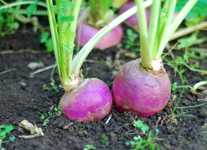 Turnips (Brassica rapa)