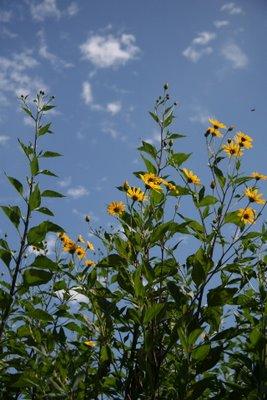 sunchoke blooms